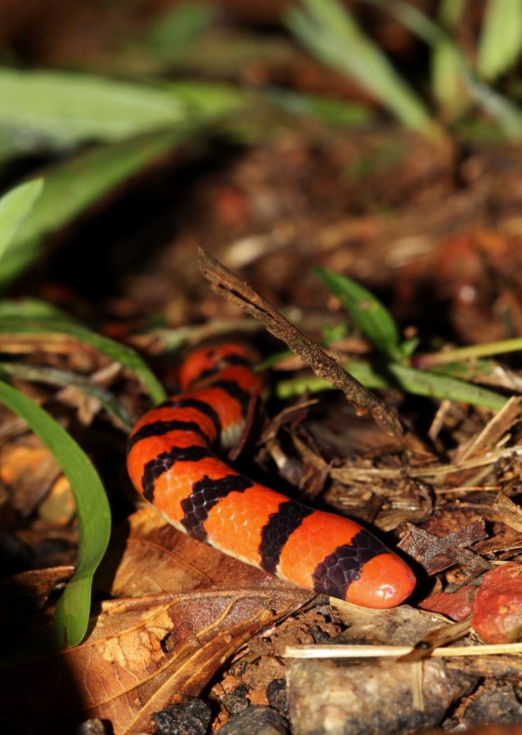 Anilius scytale - Serpent à deux têtes