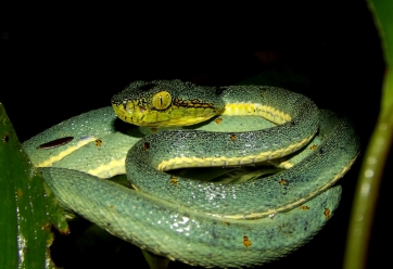 Bothrops bilineatus - Grage jacquot