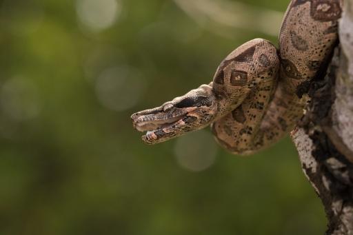Boa constrictor - Boa constrictor