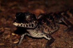 Paleosuchus trigonatus - Caiman gris