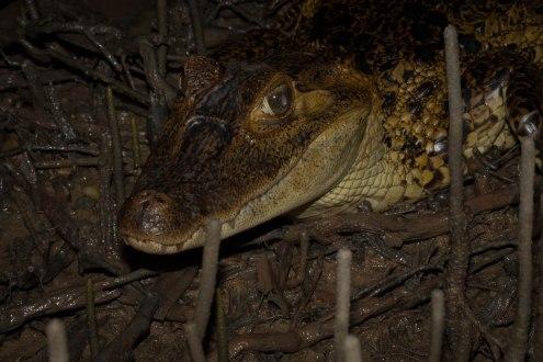 Caiman crocodilus - Caiman à lunettes