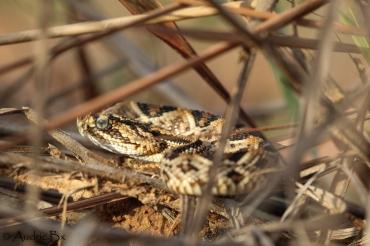 Crotalus durissus - Crotale d'Amérique du sud