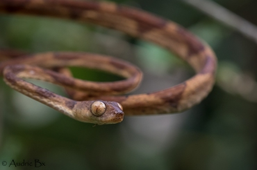 Imantodes lentiferus - Imantode rouquin