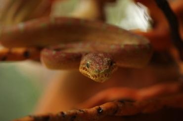 Corallus caninus - Boa emeraude