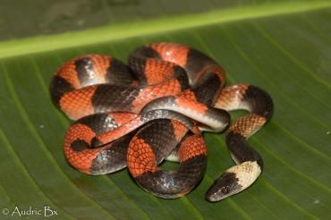Oxyrhopus petolarius - Oxyrhope madras