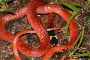 Pseudoboa coronata - Pseudoboa écarlate