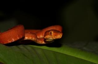 Corallus hortulanus - Boa d'amazonie