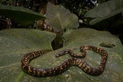 Siphlophis cervinus - Diane arlequin
