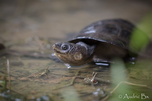 Mesoclemmys gibba - Tortue bossue