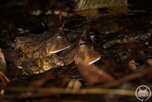 Les explosives breedings sont aussi l'occasion de croiser l'emblématique crapaud cornu - Ceratophrys cornuta puisqu'il vient aussi se reproduire sur les marres éphémères.